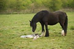 Лошадь оплакивая ее неподвижного принесенного осленка Стоковая Фотография
