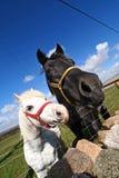 лошадь осленка Стоковое фото RF
