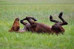 Лошадь отбрасывает в траве стоковая фотография