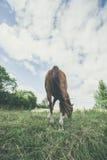 Лошадь от задней травы еды Стоковое Фото