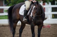 Лошадь охотника конематки залива стоковое фото rf