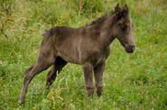 лошадь одичалая Стоковое Изображение