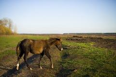 Лошадь пася в выгоне в деревне Стоковое Изображение RF
