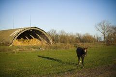 Лошадь пася в выгоне в деревне Стоковые Изображения