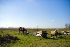 Лошадь пася в выгоне в деревне Стоковая Фотография
