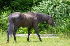 Лошадь пася в выгоне Стоковая Фотография