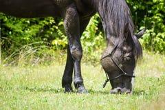 Лошадь пася в выгоне Стоковые Изображения