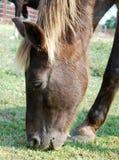 Лошадь пася в поле цветков Стоковая Фотография