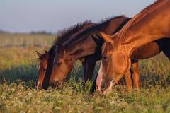 Лошадь пася на выгоне Стоковые Фотографии RF
