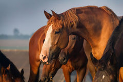 Лошадь пася на выгоне Стоковое фото RF