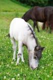 Лошадь пася на зеленом лужке, селективный f осленка Falabella мини Стоковое фото RF