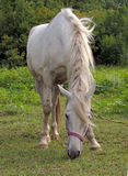 Лошадь пальто белых волос Стоковая Фотография RF