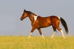 Лошадь пегой лошади идя рысью в поле лета Стоковая Фотография