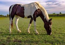 Лошадь пегой лошади пася Стоковые Фото