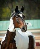 Лошадь пегой лошади стоковая фотография rf