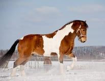 Лошадь пегой лошади Стоковое Изображение