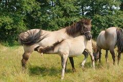Лошадь подавая ее осленок Стоковая Фотография RF
