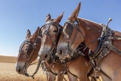 Лошадь подталкивает другие Стоковые Изображения