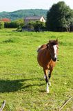 Лошадь приходит бегущ к телезрителю в поле Стоковая Фотография
