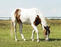 Лошадь при коричневые пятна и светлая грива стоя на зеленой траве стоковое фото rf