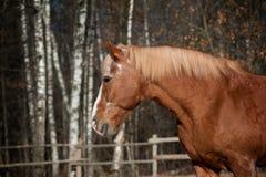 Лошадь проекта в осени Стоковые Фотографии RF