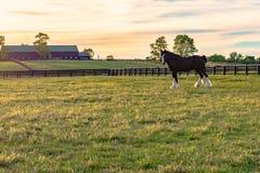 Лошадь проекта gelding на ферме лошади Стоковые Фотографии RF
