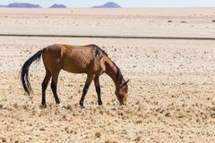 Лошадь пустыни Namib, Намибия, Стоковое Изображение