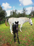 Лошадь племенника белая с новичком Стоковое Изображение RF