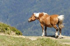 Лошадь работы в горах Стоковая Фотография
