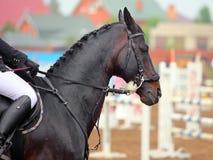 Лошадь седловины с уздечкой Hackamore Стоковое Изображение
