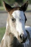Лошадь скача в гонку Стоковые Фото