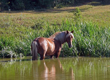 Лошадь стоя в пруде Стоковая Фотография