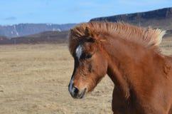 Лошадь сладостного молодого каштана исландская Стоковые Изображения RF