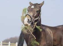 Лошадь с белым пламенем на его головном branche рождества 3 еды Стоковые Фото