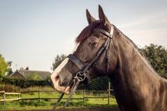 Лошадь с уздечкой Стоковые Фотографии RF