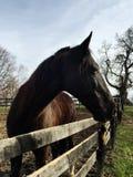 Лошадь темного коричневого цвета в paddock Стоковая Фотография RF