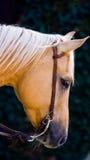 лошадь унылая Стоковая Фотография RF
