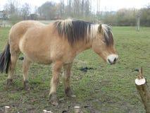 Лошадь фермы Брайна в луге Стоковое Изображение
