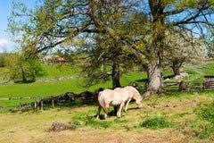 Лошадь фьорда Стоковые Изображения