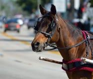 Лошадь экипажа в St Augustine, Флориде Стоковые Фото