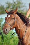 Лошадь Стоковые Изображения RF