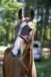 Лошадь AgrafDag Стоковое фото RF
