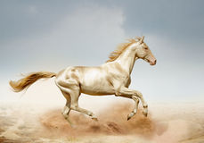 Лошадь Akhal-teke бежать в пустыне Стоковое фото RF