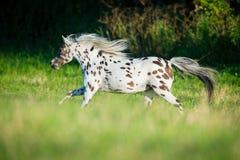 Лошадь Appaloosa бежать в поле Стоковые Фотографии RF