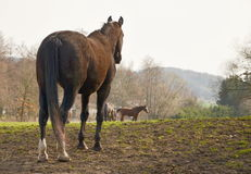Лошадь Appaloosa в луге Стоковое Изображение