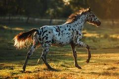 Лошадь Appaloosa на восходе солнца Стоковое Фото
