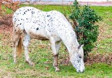 Лошадь Appaloosa Стоковое Изображение RF