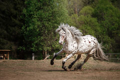 Лошадь appaloosa Knabstrup идя рысью в луге Стоковая Фотография