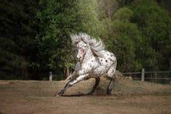 Лошадь appaloosa Knabstrup идя рысью в луге Стоковое фото RF