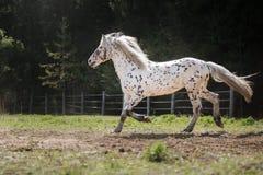 Лошадь appaloosa Knabstrup идя рысью в луге Стоковые Изображения
